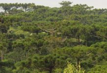 motivos árvores em extinção joinvill
