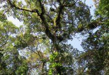 Calophyllum brasiliense joinvill